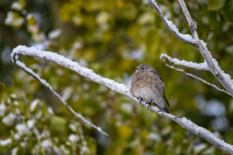 Female mountain bluebird (Sialia currucoides) in the snow, Grand Teton National Park, Wyoming