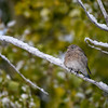 Female mountain bluebird (Sialia currucoides) in the snow, Grand Teton National Park, Wyoming