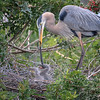 Snake, it's what's for dinner for two Great Blue Heron chicks, Venice Rookery, Venice, Florida