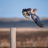 Red-shouldered hawk taking flight at Fort Niobrara National Wildlife Refuge in Valentine, Nebraska
