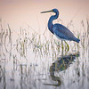 Tricolored heron at sunrise at Babcock Wildlife Management Area near Punta Gorda, Florida