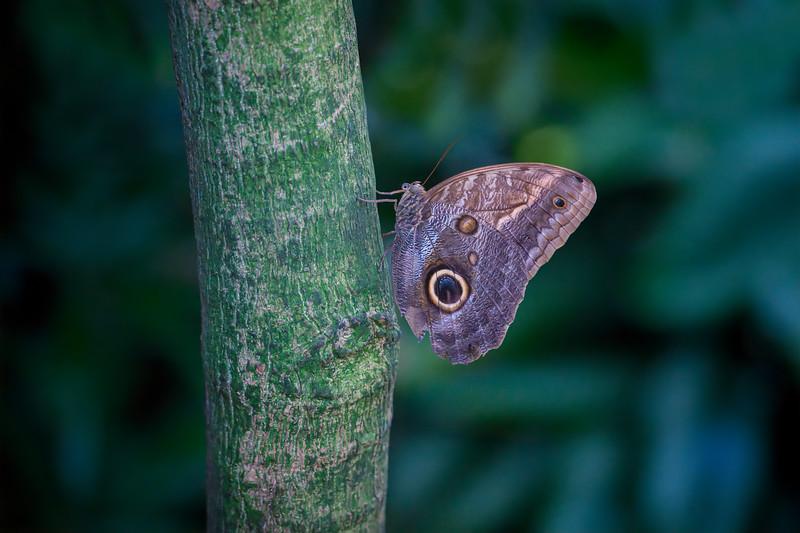 Blue morpho butterfly on tree in Key West, Florida