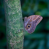 Blue morpho butterfly on tree in Key West, Florida
