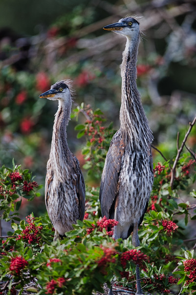 Seven-week-old Great Blue Heron chicks, Venice Rookery, Venice, Florida