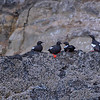 Group of Pigeon guillemots on rock at Cannon Beach, Oregon