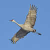 Sandhill Crane in Flight above the Platte River near Kearney, Nebraska