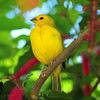 Yellow Tropical Bird, Key West