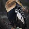 Anhinga posing at Big Cypress National Preserve, Florida
