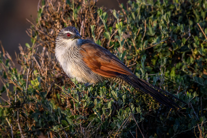 White-browed coucal (Centropus superciliosus) in Masai Mara, Kenya, East Africa