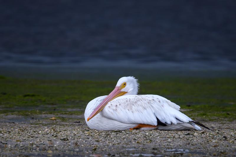 "American white pelican (Pelecanus erythrorhynchos) resting on a sandbar at low tide at J. N. ""Ding"" Darling National Wildlife Refuge, Sanibel Island, Florida"