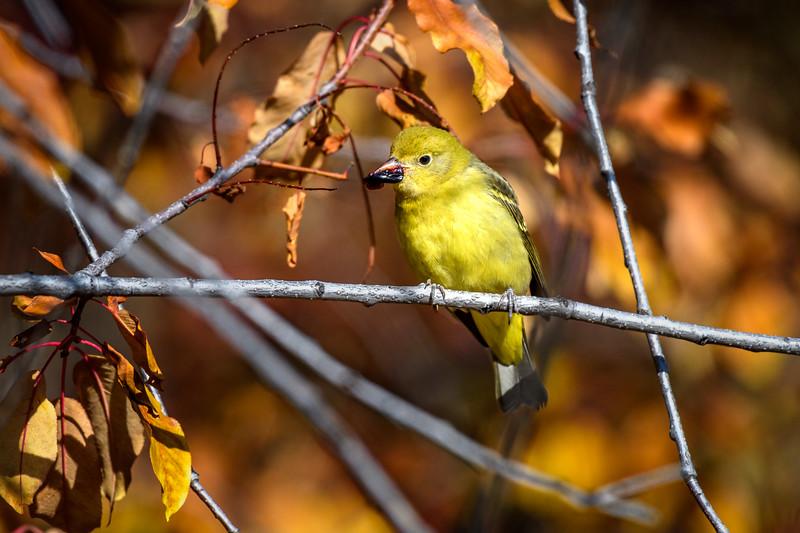 Yellow warbler (Setophaga petechia) eating a hawthorn berry, Grand Teton National Park, Wyoming
