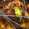 Yellow warbler (Setophaga petechia) eating a hawthorn berry, Grand Teton National Park, Wyoming