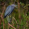Little blue heron (Egretta caerulea) at Bird Rookery Swamp, Naples, Florida