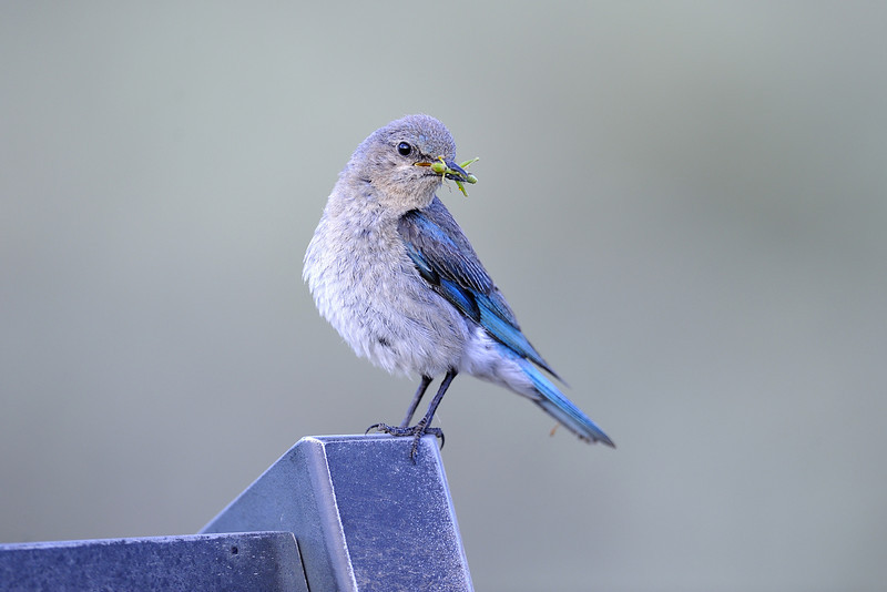 Female Mountain Bluebird (Sialia currucoides) in the Lamar Valley, Yellowstone National Park, Wyoming