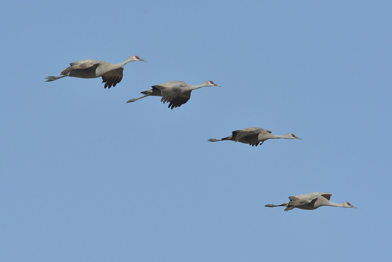 Sandhill Cranes Gliding in Formation over Kearney, Nebraska