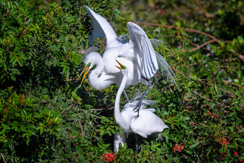 Great egret (Ardea alba) couple after finishing mating at Venice Rookery, Venice, Florida