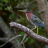 Green Heron (Butorides virescens) at Babcock Wildlife Management Area, Punta Gorda, Florida