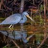 "Tricolored heron (Egretta tricolor) with fish along the Indigo Trail in J. N. ""Ding"" Darling National Wildlife Refuge, Sanibel Island, Florida"