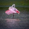 "Roseate spoonbill (Platalea ajaja) preening just before a rainstorm at J. N. ""Ding"" Darling National Wildlife Refuge, Sanibel Island, Florida"