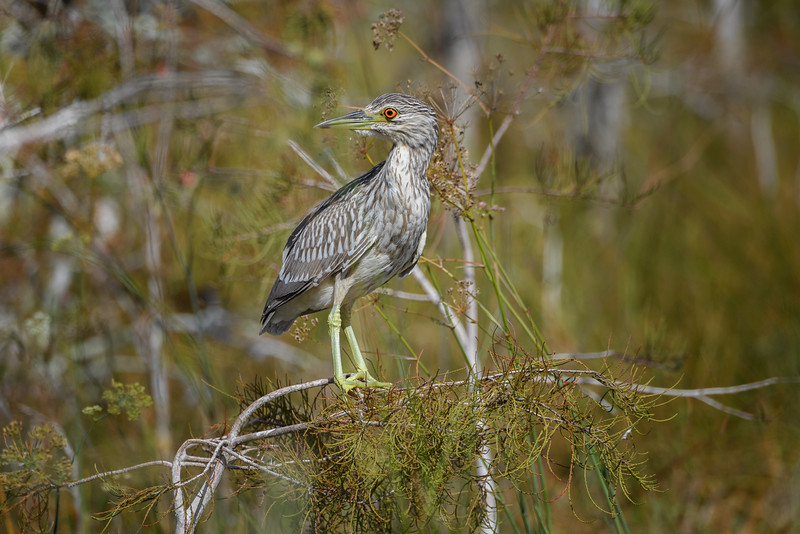Juvenile Yellow-crowned Night-Heron (Nyctanassa violacea ) in the early morning light