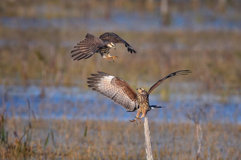 A territorial dispute between two endangered Juvenile Snail kites at Babcock Wildlife Management Area near Punta Gorda, Florida