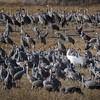 Whooping Crane (Grus americana) in a cornfield with Sandhill Cranes near Gibbon, Nebraska during the annual Sandhill Crane migration