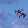 Brown pelican diving for fish along the Sanibel Causeway, Sanibel Island, Florida