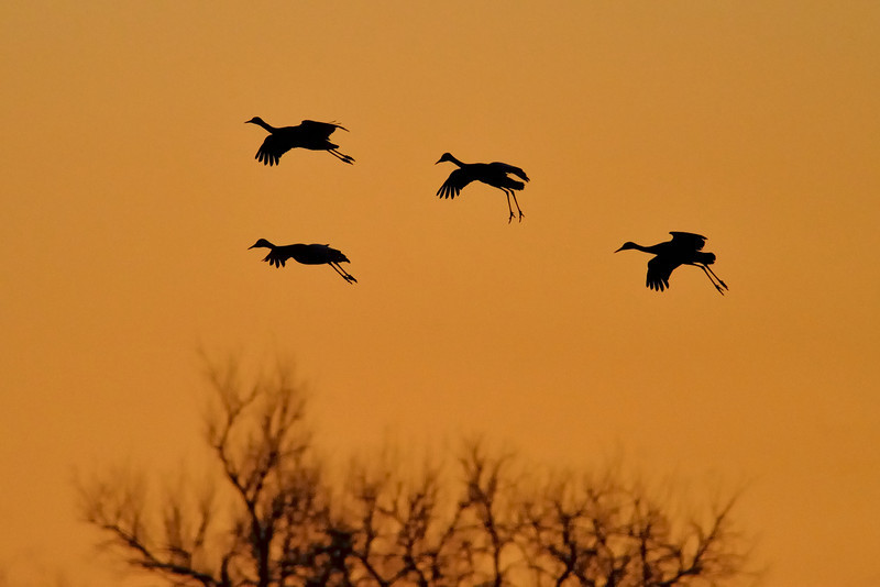 Sandhill Cranes Hovering Before Landing at Sunset, Kearney, Nebraska