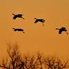 Sandhill Cranes Hovering Before Landing at Sunset, Kearney, Nebraska