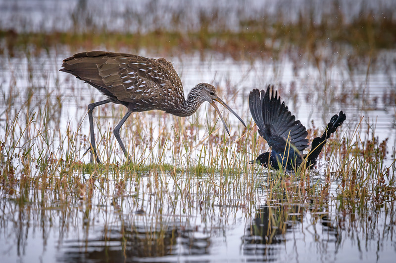 Limpkin harassing a crow in marsh at Babcock Wildlife Management Area near Punta Gorda, Florida