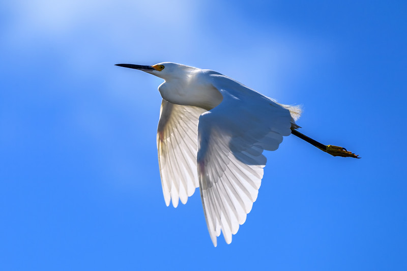 "Snowy egret (Egretta thula) in flight at J. N. ""Ding"" Darling National Wildlife Refuge, Sanibel Island, Gulf of Mexico"
