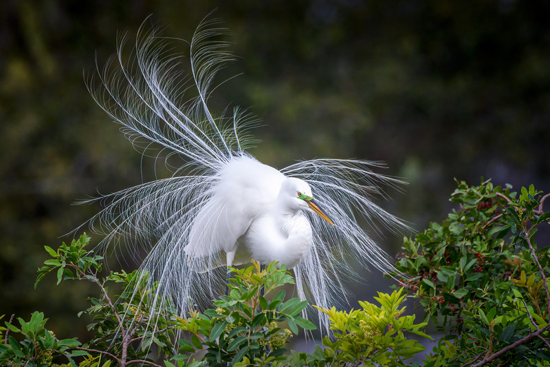 Wind blowing the silky breeding plumage of a nesting Great Egret at Audubon Venice Rookery, Venice, Florida.  The great egret is also known as the common egret, large egret, great white egret or great white heron.