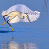 Snowy egret diving for fish at Babcock Wildlife Management Area near Punta Gorda, Florida