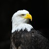 Bald Eagle, Washington State
