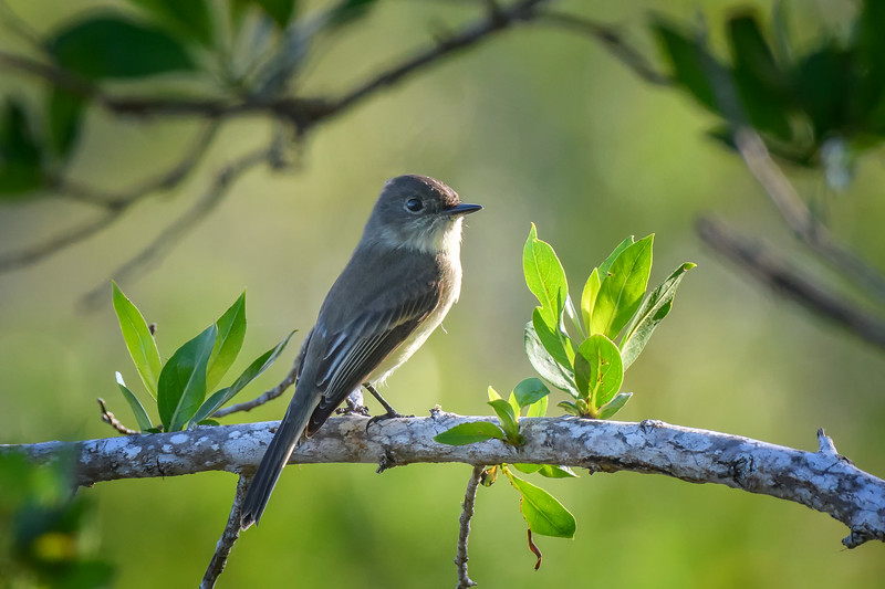 "Eastern wood pewee (Contopus virens) at Bailey Tract, J. N. ""Ding"" Darling National Wildlife Refuge, Sanibel Island, Florida"