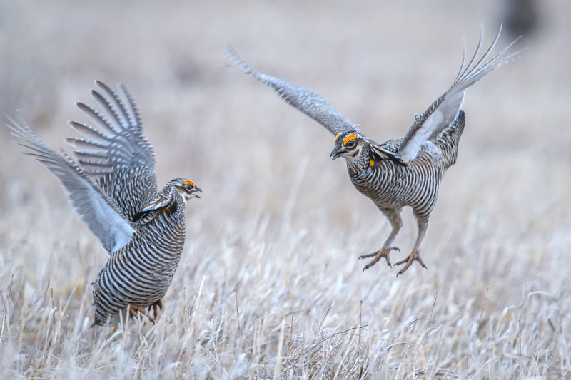 Two Male Greater Prairie Chickens fighting for dominance, Calamus Wildlife Management Area, Burwell, Nebraska