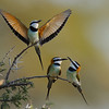 Mating Display of White-throated Bee-eaters, Kenya, East Africa