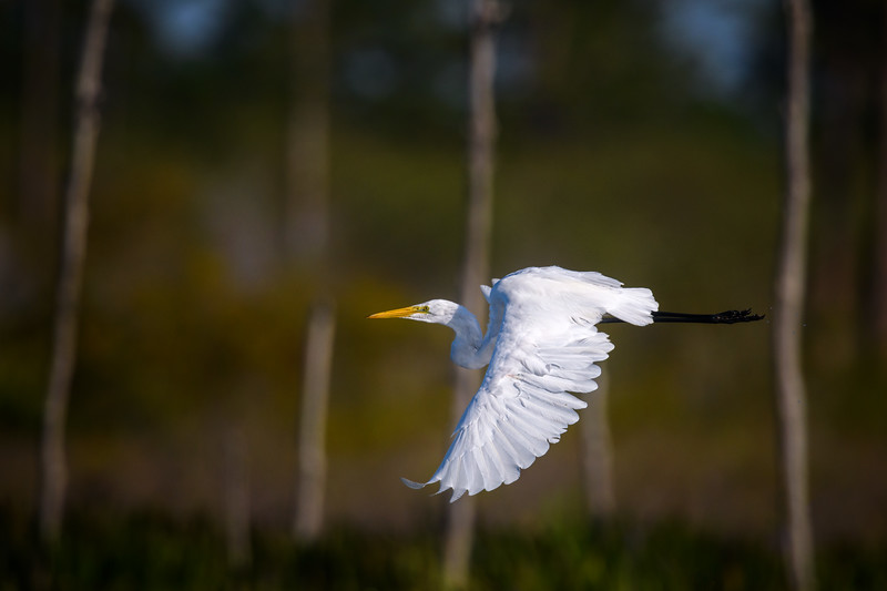 Great egret (Ardea alba) in flight at Babcock Wildlife Management Area, Punta Gorda, Florida