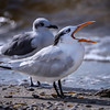 Royal tern (Thalasseus maximus) on the beach on Sanibel Causeway, Sanibel Island, Florida