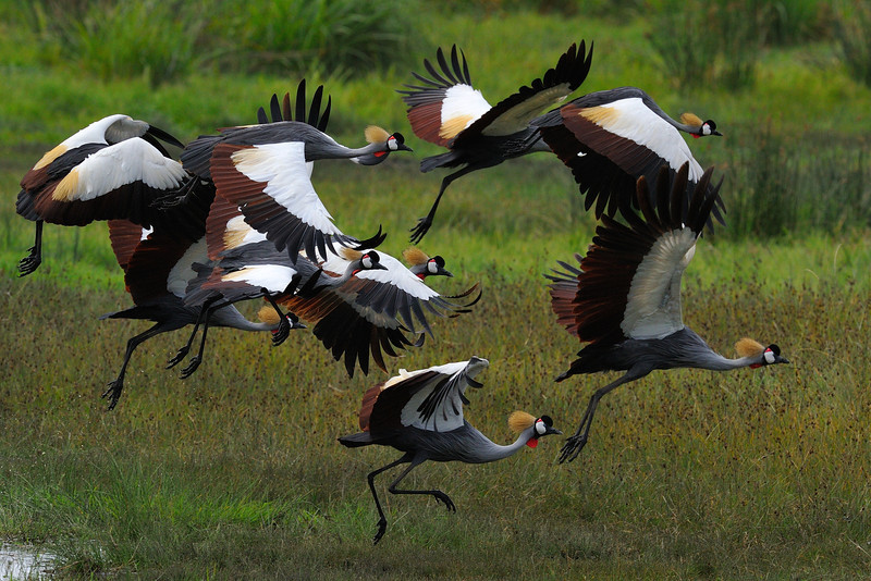 African Crown Cranes in Flight, Ngorongoro Crater, Tanzania, East Africa
