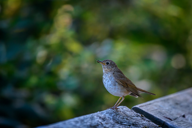 Swainson's thrush with insect at Nisqually National Wildlife Refuge near Olympia, Washington