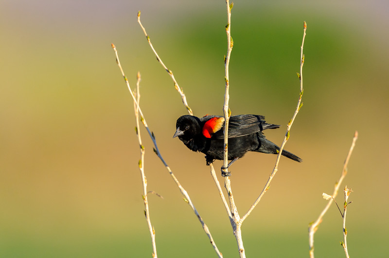Male Red-winged Blackbird at Bosque del Apache National Wildlife Refuge, New Mexico