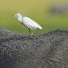 Cattle egret on top of Elephant, Kenya, East Africa