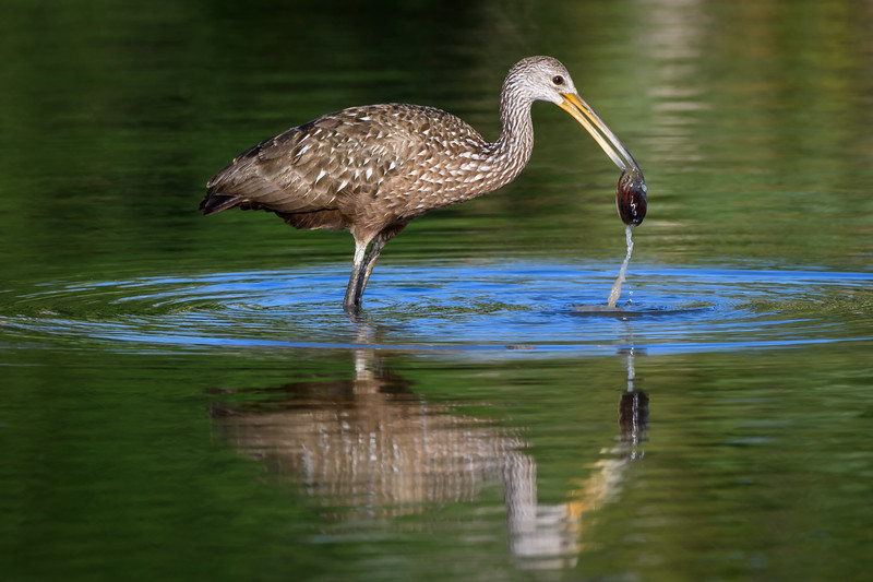 Limpkin with clam at Harns Marsh, Fort Myers, Florida