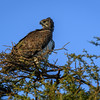 Martial eagle (Polemaetus bellicosus) on acacia tree, Amboseli National Park, Kenya, East Africa