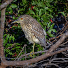 Juvenile Black-crowned night heron (Nycticorax nycticorax) at Venice Rookery, Venice, Florida