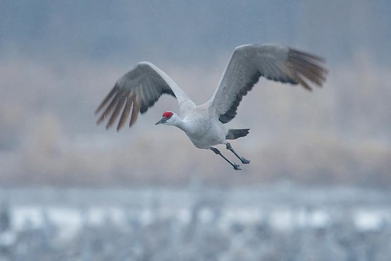 Sandhill Crane in Flight in the Snow near Kearney, Nebraska