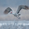 Sandhill Crane in Flight in the Snow near Kearney, Nebraska