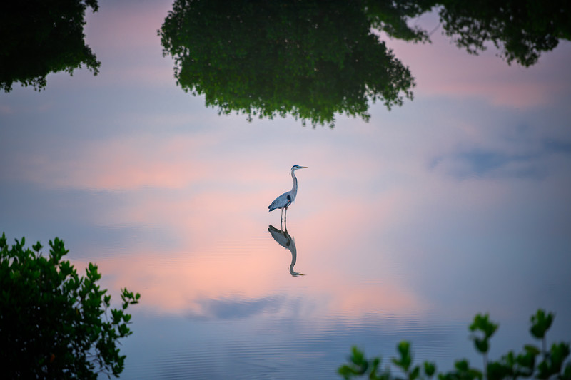 Isolation.  Great blue heron and reflection in the pre-dawn hours at Ten Thousand Islands National Wildlife Refuge