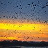 Nebraskan Sky Crowded with Sandhill Cranes at Sunset